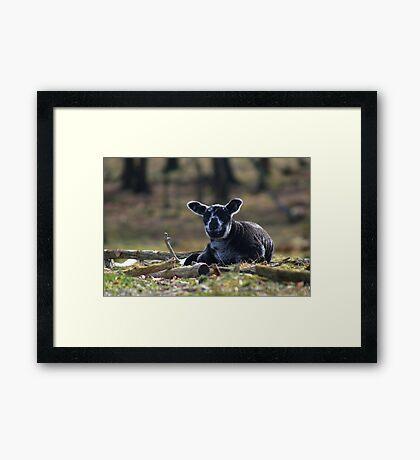Little Black Sheep Framed Print