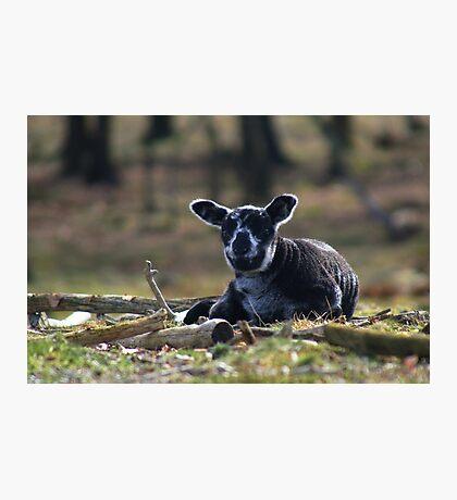 Little Black Sheep Photographic Print