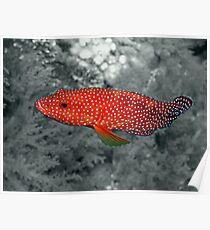 Coral Trout Selective Colour Poster