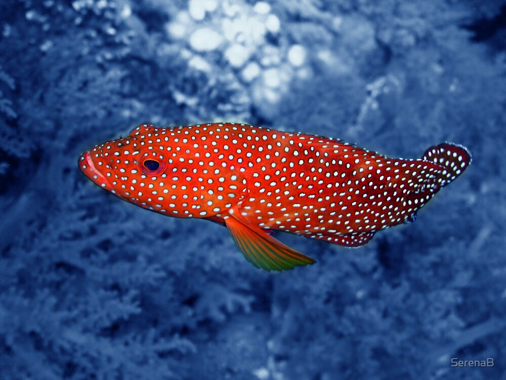 """""""Coral Trout"""" by SerenaB 