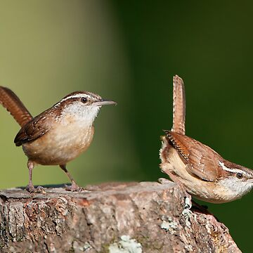 Carolina Wrens, Two for the Price of One! by Miracles