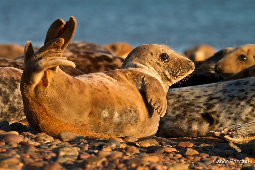Young Grey seal (Halichoerus grypus) by Gabor Pozsgai