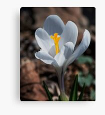 The Day of the Crocus Canvas Print
