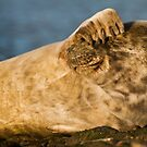 Grey seal (Halichoerus grypus) watching by Gabor Pozsgai