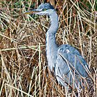 Heron by Anthony Hedger Photography