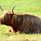 Highland cattle by apple88