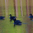 geese afloat  by ANNABEL   S. ALENTON