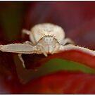 Tiny Arachnid by Chet  King