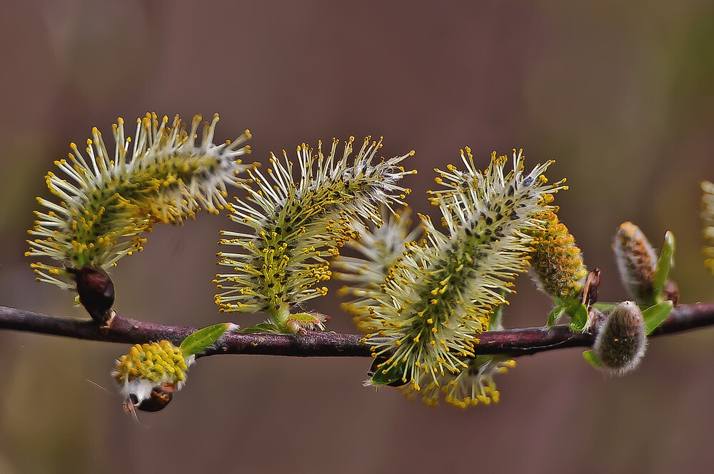 Pussy Willow - Full Bloom by jules572
