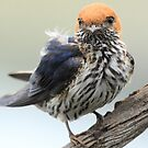 Lesser Striped Swallow by John Banks
