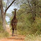 CAN I HELP, ARE YOU LOST? - GIRAFFE – Giraffa camelopardalis by Magriet Meintjes