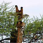 ONE SMALL KISS? - GIRAFFE – Giraffa camelopardalis (KAMEELPERD) by Magriet Meintjes