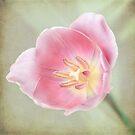 Tulip Splendour by KBritt