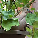 Dove in Pot by glennc70000