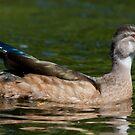 Male Nonbreeding Wood Duck by DigitallyStill