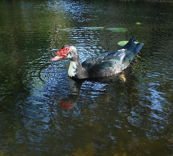 MUSCOVY DRAKE by May Lattanzio