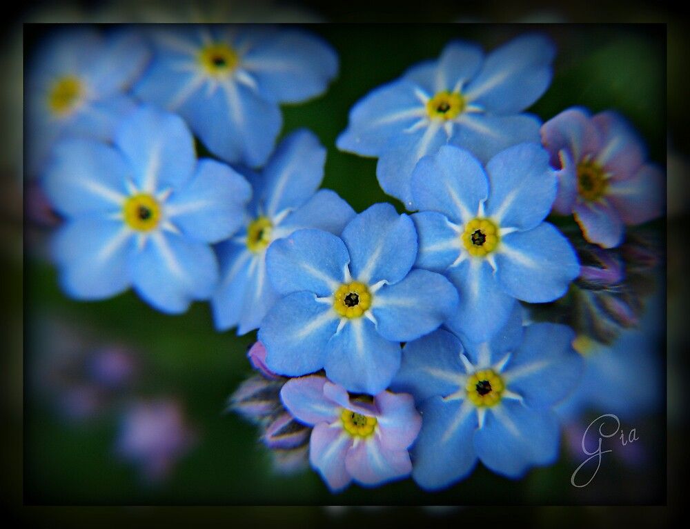 """""""Forget Me Not"""" by Gail Jones"""