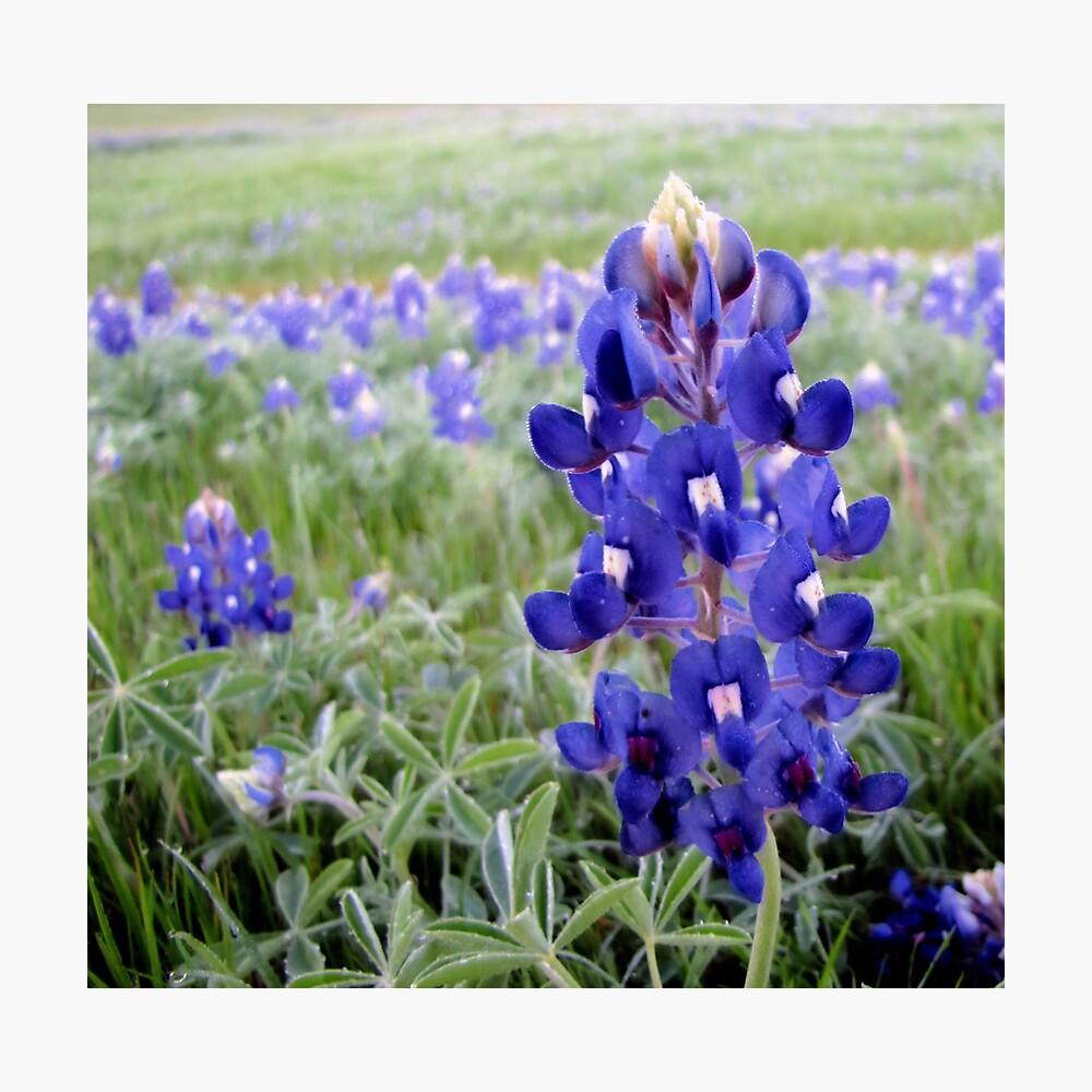 Bluebonnets Texas State Flower Framed Art Print By Aprilann