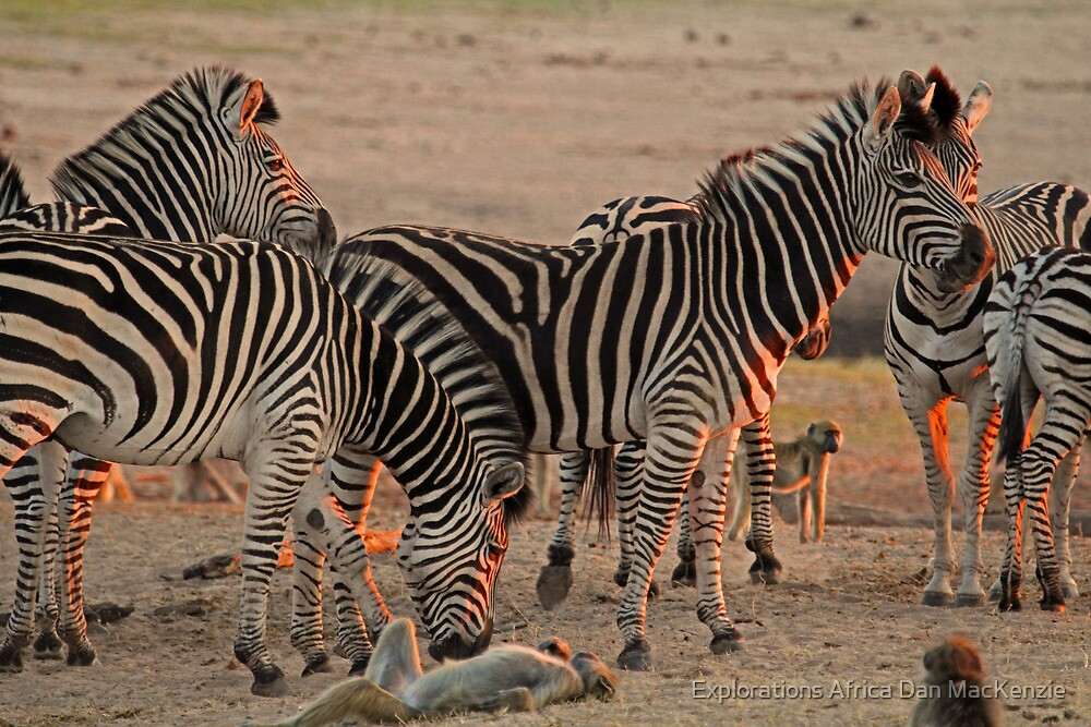 Go on, scratch my belly! by Explorations Africa Dan MacKenzie