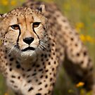 Cheetah close-up by birddog-media