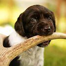 Small Munsterlander Puppy chewing on an Antler by birddog-media