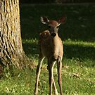 Young White tail  Deer by ffuller