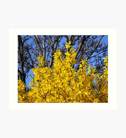 Golden Forsythia against a Cloudless Blue Sky Kunstdruck