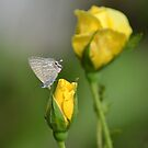 Yellow Rose Buds & a Butterfly by TheaShutterbug