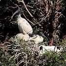 Australian White Ibis Nesting by Carole-Anne
