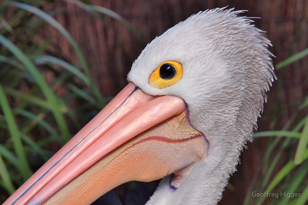 Portrait of an Australian Pelican by Geoffrey Higges