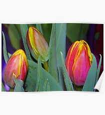 Three bright tulips Poster