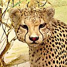 Cheetah closeup by Jane Neill-Hancock