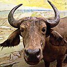 African Buffalo by Jane Neill-Hancock