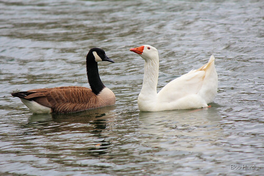 Geese in Love by Bob Hardy
