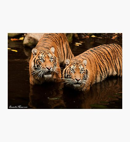 Tigers- Melbourne Zoo 02 Photographic Print