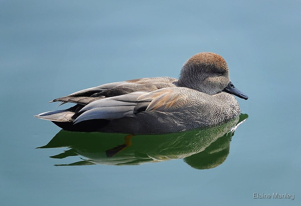 Male Gadwall Duck  by Elaine  Manley