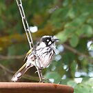 Juvenile New Holland Honeyeater loves the water too. Adelaide Hills.. by Rita Blom