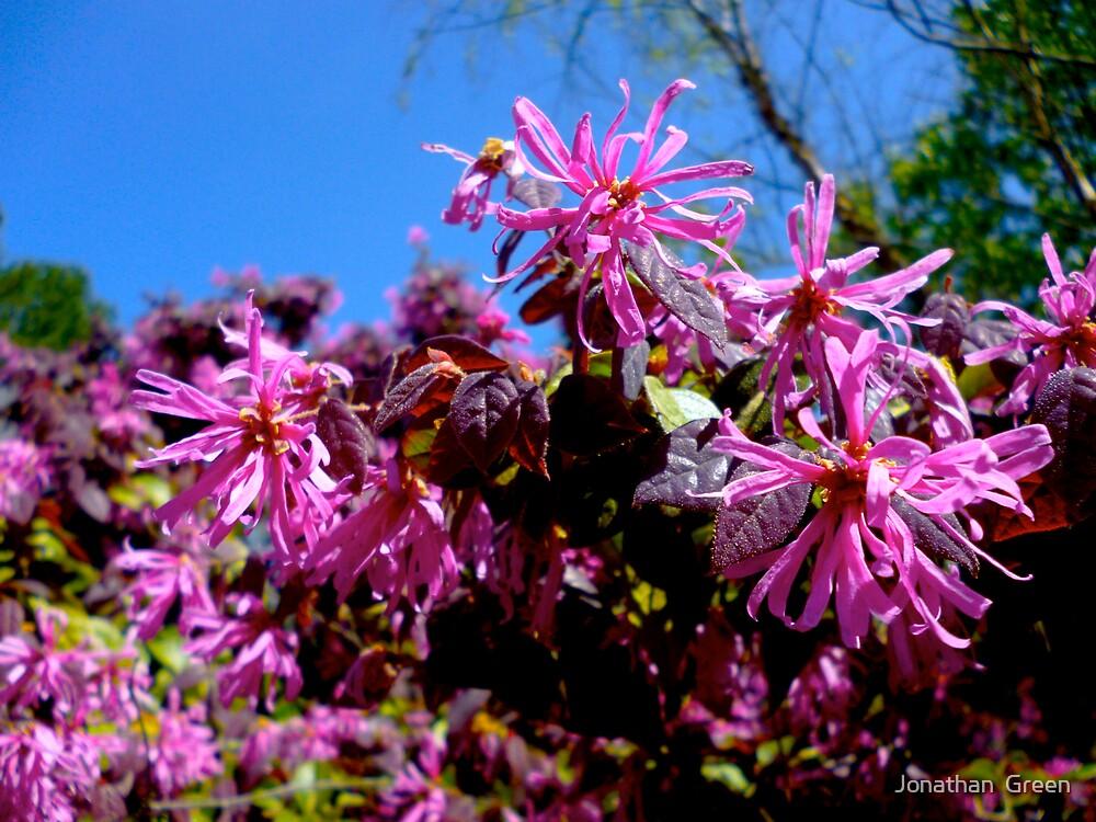 Loropetalum Flowers By Jonathan Green by Jonathan  Green
