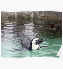 Swimming Penquin at Mystic Aquarium Poster