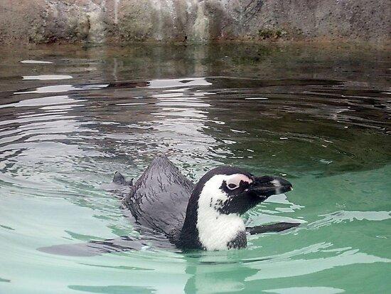 Swimming Penquin at Mystic Aquarium by Jane Neill-Hancock