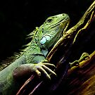 Iguana by PhotoTamara