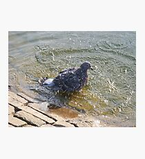 Pigeon washing Photographic Print