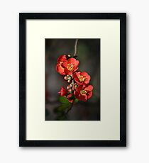 Red Flowering Quince Framed Print