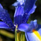 Blue Iris...... by Joyce Knorz