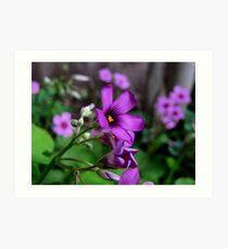 Purple Passion - Oxalis Flower, Sherman, Texas, USA Art Print