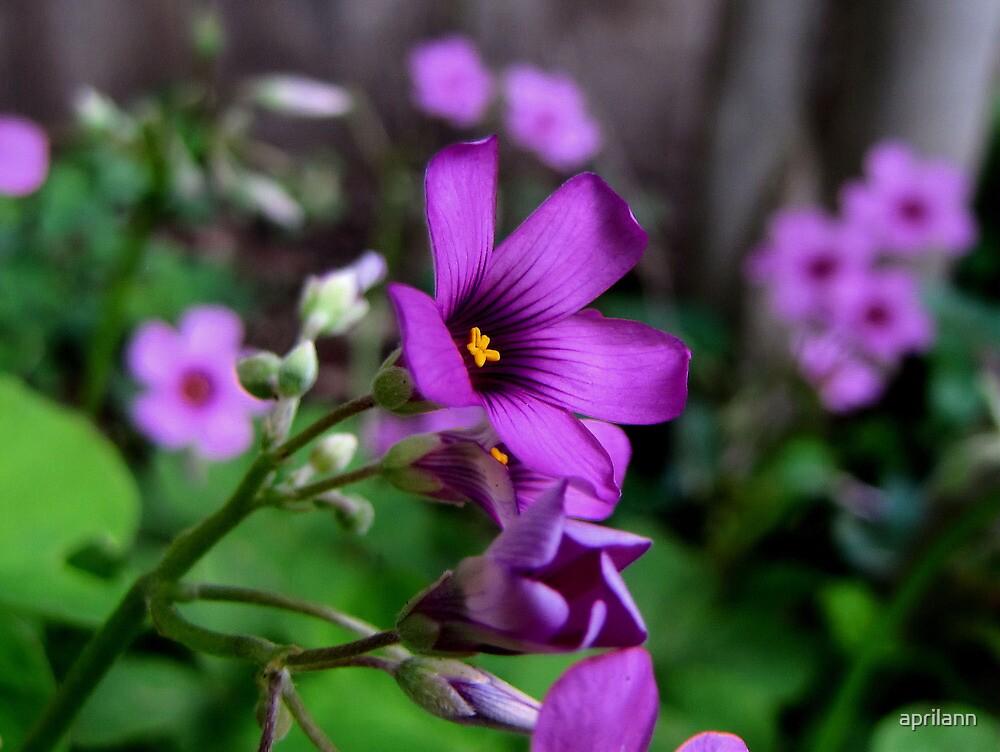 Purple Passion - Oxalis Flower, Sherman, Texas, USA by aprilann