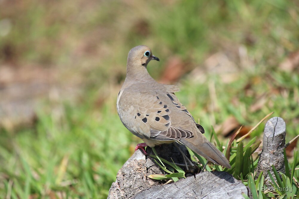 Blue Eyed Dove by Bob Hardy