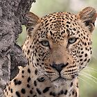 Dominant male leopard(please stop raining i can`t see even up here!) by jozi1