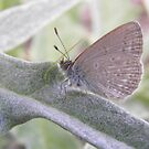 Common Grass Blue Butterfly ( Zizina labradus) - Skye, South Australia by Dan & Emma Monceaux