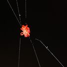 The little red spider by jean-jean